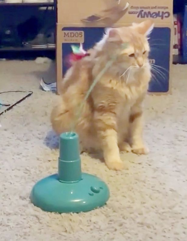 Woman left in stitches at her cat's unenthusiastic response to his new toy